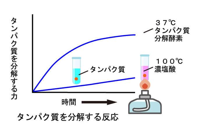 タンパク質を分解する反応